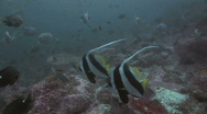 Stock Video Footage of Banner Fish SD NTSC