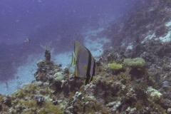 Bat Fish SD NTSC Stock Footage