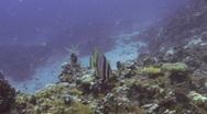 Stock Video Footage of Bat Fish SD NTSC