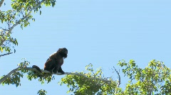 Capuchin Monkey on tree limb moving in wind  Stock Footage