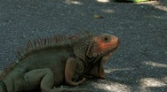 Stock Video Footage of Reddish colored Iguana