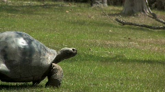 Tortoise moving slowly across a grassy area Stock Footage