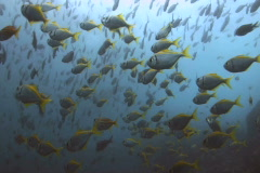 School of fish SD NTSC Stock Footage