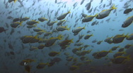 Stock Video Footage of School of fish SD NTSC