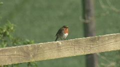 Robin on fence chases rival Stock Footage
