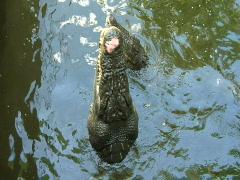 Crocodile Eating CU Stock Footage