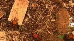 The red palm weevil, Rhynchophorus ferrugineus Stock Footage