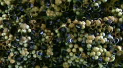 Beehive of earth bumblebee, Bombus terrestris Stock Footage