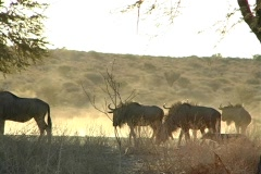 Gnus and jackal backlit with dust - stock footage