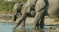 Elephants drinking Stock Footage