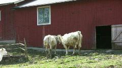 Playful calf Stock Footage