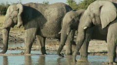 Elephant drinking Stock Footage