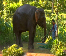 Elephant drinks from water hose Stock Footage