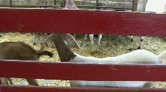 Goat Behind Red Fence in Barn Stock Footage