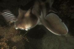 Crested Horn Shark or Port Jackson Shark NTSC Stock Footage