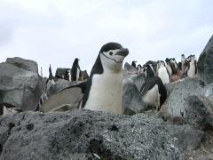 Antarctica Penguin walks to cam Stock Footage