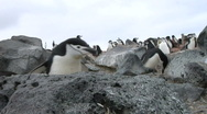 Stock Video Footage of Antarctica Penguin walks to cam