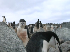 Penguin pushes another away Stock Footage