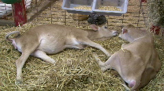 Two Baby Cows laying in Hay Stock Footage