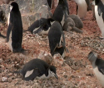 Penguins Mating in Antarctica Stock Footage