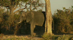 Elephant scractching  Stock Footage