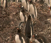 Penguin with baby in Antarctica Stock Footage