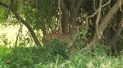 Malawi: impala in a wild 1 Stock Footage