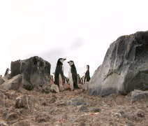 Penguin Ritual Stock Footage