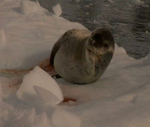 Sea Lion floating on Iceberg in Antarctica Stock Footage