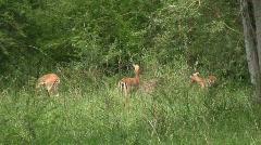 Malawi: impala in a wild 2 Stock Footage