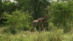 Malawi: giraffe in a wild 5 Stock Footage