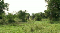Malawi: giraffe in a wild 7 Stock Footage