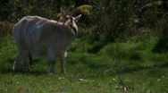 Goats on spring pasture Stock Footage