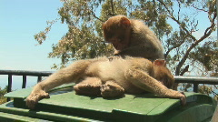 Barbary apes - stock footage