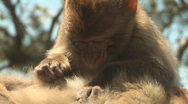 Barbary apes Stock Footage