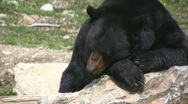 North American Black Bear Laying On A Rock In The Sun Stock Footage
