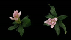 Time-lapse of opening rhododendron 5 isolated black two synchronised cameras Stock Footage