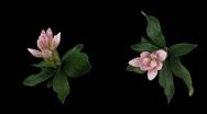 Stock Video Footage of Time-lapse of opening rhododendron 5 isolated black two synchronised cameras