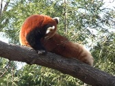 Red Panda cleaning  Stock Footage