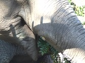 Chewing Elephant Stock Footage