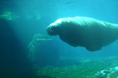 Walrus 2  Stock Footage