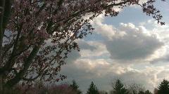 Cherry Blossom Tree against Clouded dusk sky Stock Footage