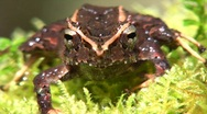 Appendiculate rain frog (Pristimantis appendiculatus) Stock Footage