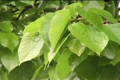 Rain,leaf. Stock Footage
