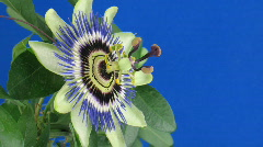 Time-lapse of closing passiflora 3b against blue background Stock Footage
