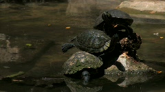 Three turtles sun themselves on rocks in stream Stock Footage