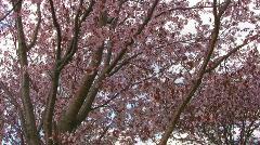 Cherry Blosoms closeup Stock Footage