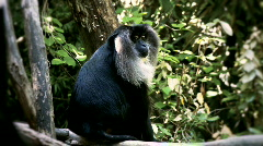 macaque - stock footage