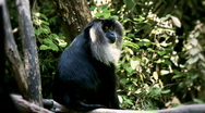 Stock Video Footage of macaque