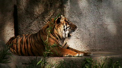 Tiger grooming Stock Footage
